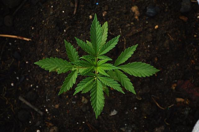 rostlina marihuany
