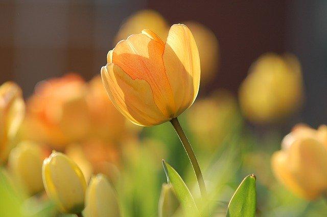 tulipánová zahrada